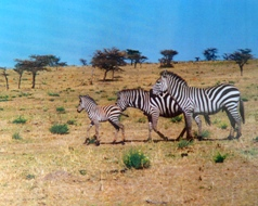 Family of zebra in the Mara