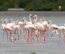 Flamingos of Mida Creek