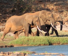 Elephants by the Galana River