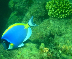Powder Blue Surgeon Fish in Watamu